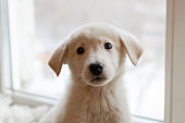 Portrait of cute little white puppy on a background of window.