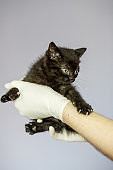 Little black kitten in the hands of a veterinarian. Concept pets, treatment, veterinary clinic.