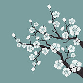 Cherry blossom, sakura flowers on white background.