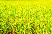 yellow rice field paddy in Thailand. agriculture nature landscape background.