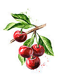 Cherry. Ripe cherries on the branch. Watercolor hand drawn illustration isolated on white background