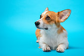 portrait of cute healthy and happy smart pembroke welsh corgi lies and looks up in the photo studio on the blue background