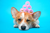 Cute ginger and white corgi lays and winks on the blue background with pink hair curlers on the head. Funny picture, humor, pet beauty or animal grooming, spa salon concept.