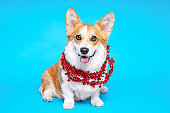 Funny dog pembroke welsh corgi with with red Christmas tinsel on a blue studio background