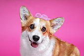 Funny dog pembroke welsh corgi with with  curlers on a pink studio background