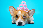 Cute ginger and white corgi lays on the blue background with pink hair curlers on the head.