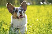 cute dog pembroke welsh cardigan  in the park outside