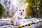 Happy purebred Welsh Corgi dog  dressed up with bunny ears costume for Easter celebration for a walk in the park at sunny lawn