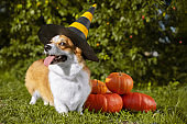 Cute Welsh Corgi dog dressed in a festive halloween black and yellow witch hat, sitting next pile of different sized orange pumpkins on green grass on a background of trees