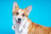 Funny dog pembroke welsh corgi with headphones on a blue studio background