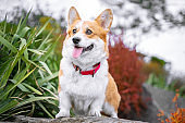 Happy and active purebred Welsh Corgi dog outdoors in the park on a sunny summer day.