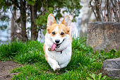Happy and active purebred Welsh Corgi dog running outdoors in the park on a sunny summer day.