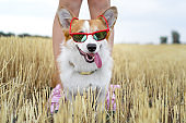 cool Welsh Corgi Pembroke dog  wearing red sunglasses sticking your tongue out, on vacation for a walk with his master