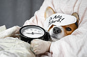 Cute red and white corgi sleeps on the bed on its back with alarm clock in paws. Head on the pillow, covered by blanket, eyes mask. Close up portrait of pretty spoilt dog.