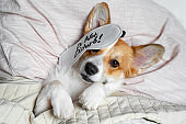 Cute red and white corgi sleeps on the bed on its back. Head on the pillow, covered by blanket, eyes mask. Close up portrait of pretty spoilt dog.