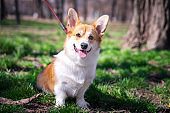 Colorful portrait purebred Welsh Corgi dog outdoors in the grass on a sunny summer day.