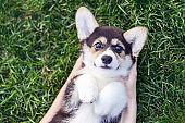 Top view of a cute puppy dog pembroke welsh corgi lying on green grass.