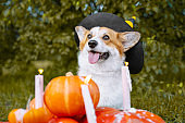 Cute Welsh Corgi dog dressed in a festive halloween black and yellow witch hat, sitting next pile of different sized orange pumpkins with burning candles on green grass on a background of trees