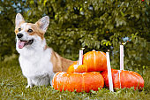 Cute Welsh Corgi dog sitting next pile of different sized orange pumpkins with burning candles on green grass on a background of trees