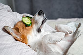 Cute red and white corgi lays on the bed with eye maks from real cucumber chips. Head on the pillow, covered by blanket, paw up.