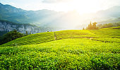 Tea plantation field on hill