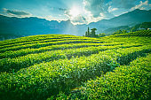 Big tea plantation