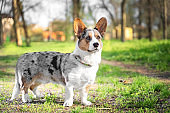Pembroke welsh corgi cardigan dog in the park on a background of green trees on a sunny day