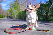 Pembroke welsh corgi cardigan dog with a long collar in the park on a background of green trees on a sunny day on a walk