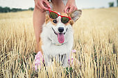 funny dog Welsh Corgi Cardigan in red sunny eyes with a smile looks  on a walk
