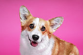 portrait of amazing healthy and happy smart pembroke welsh corgi in the photo studio on the pink background