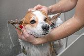 Relaxing bath foam of the funny welsh corgi pembroke dog. Dog taking a bubble bath in grooming salon.