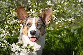 Pembroke welsh corgi cardigan dog sitting under a tree on the background of white