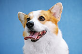 Close up portraint of funny dog of welsh corgi pembroke breed, sitting on bright blue background
