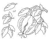 vector illustration pomegranate ink pen drawing