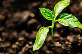 A small seedling of pepper