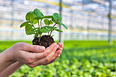 Hands of female botanist holding seedling in plant nursery