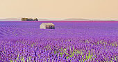 Old barn in lavender field, Valensole, Provence, France