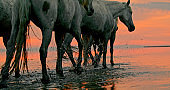 White horses walking in water at sunset