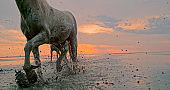 White horses running in water seen at sunset