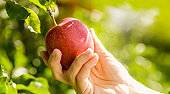 Hand holding red apple in close up