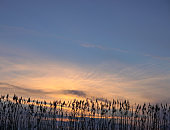Bulrush on the lake at sunset. River landscape at sunrise. Graphic background