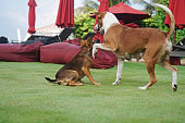 Beautiful dogs on a beautiful lawn play. Puppy runs with his mother outdoors. Pets are walking free.