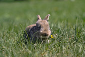 Beautiful cute rabbit on a green summer meadow. Hare walking on nature in the grass. Stock photo with domestic animal