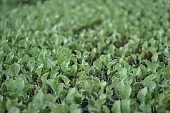 Selective Close-up of green seedling. Green salad growing from seed Farm garden in a greenhouse with watering plants. Stock background, photo