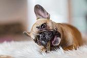 French Bulldog puppy gnaws at dog food
