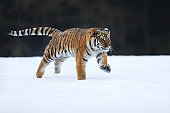 Amur tiger in wild winter nature. Typical winter in taiga, Russia.  Panthera tigris altaica