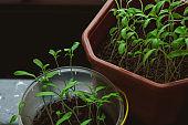 Small tomato sprouts in plastic bowl