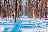 Blue winter forest landscape with trees, snow on a sunny day