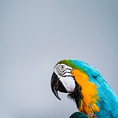 Close-up of Gold and Blue Macaw in studio