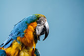 Gold and Blue Macaw against colored background